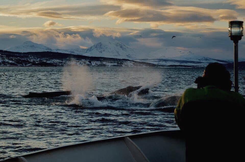 Valassafari-laiva ja valaiden pyrstöt vedenpinnan päällä Pohjois-Norjassa